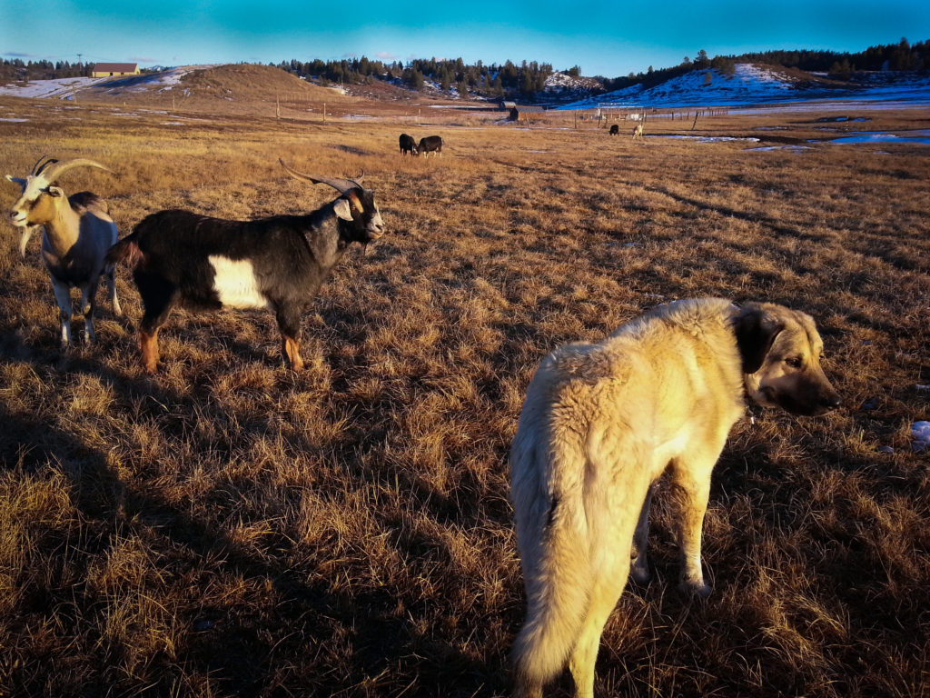 goats livestock guardian dog anatolian shepherd homestead
