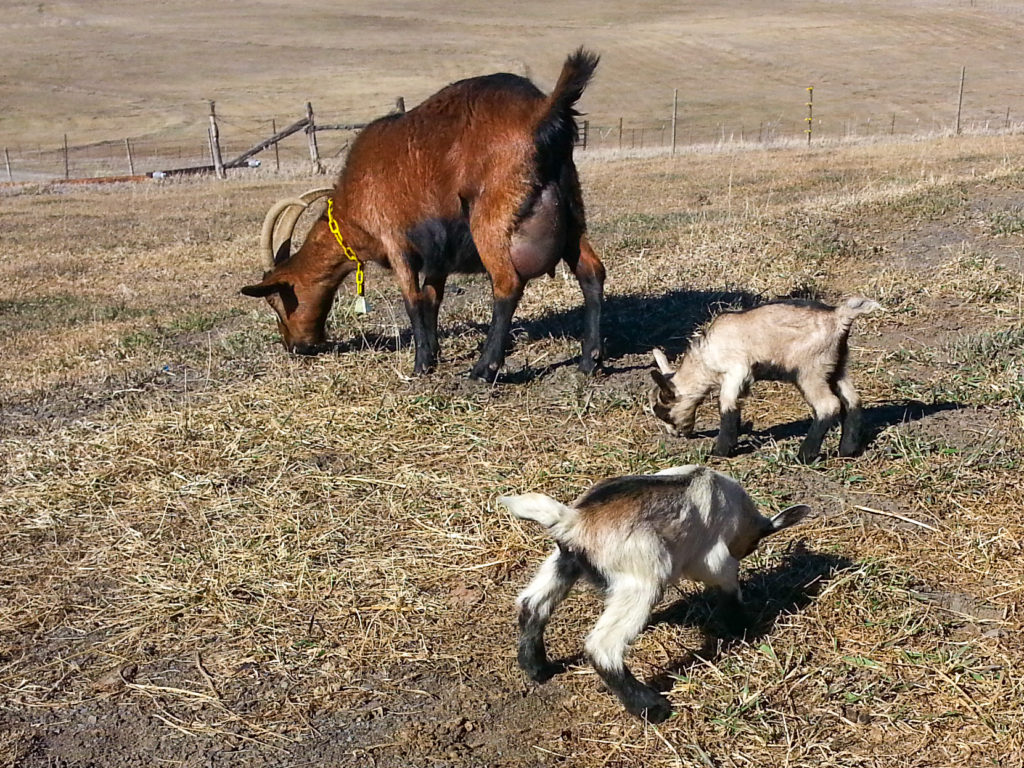 Alpine dairy goat and kids on the homestead