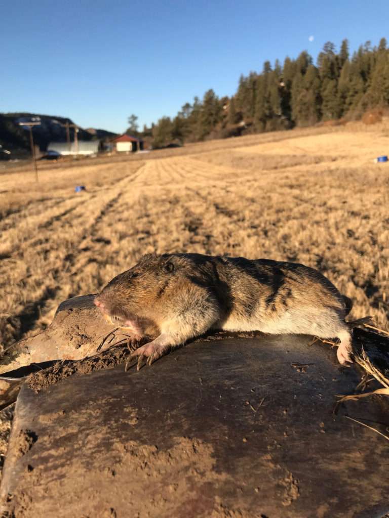 Picture of a Dead Northern Pocket Gopher lyong on a Shovel