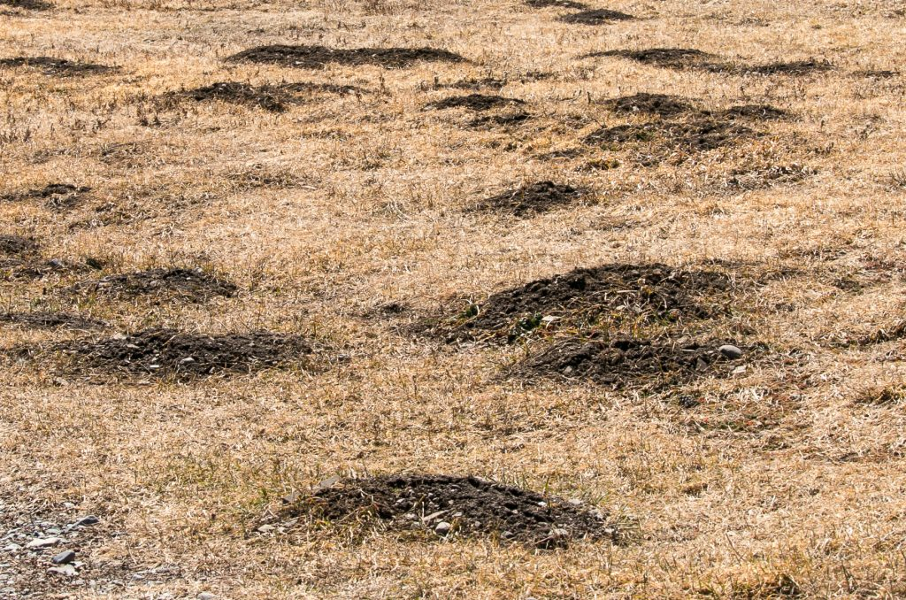 Gopher mounds