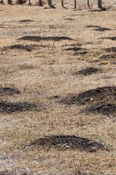 Picture of Gopher Mounds in Pasture