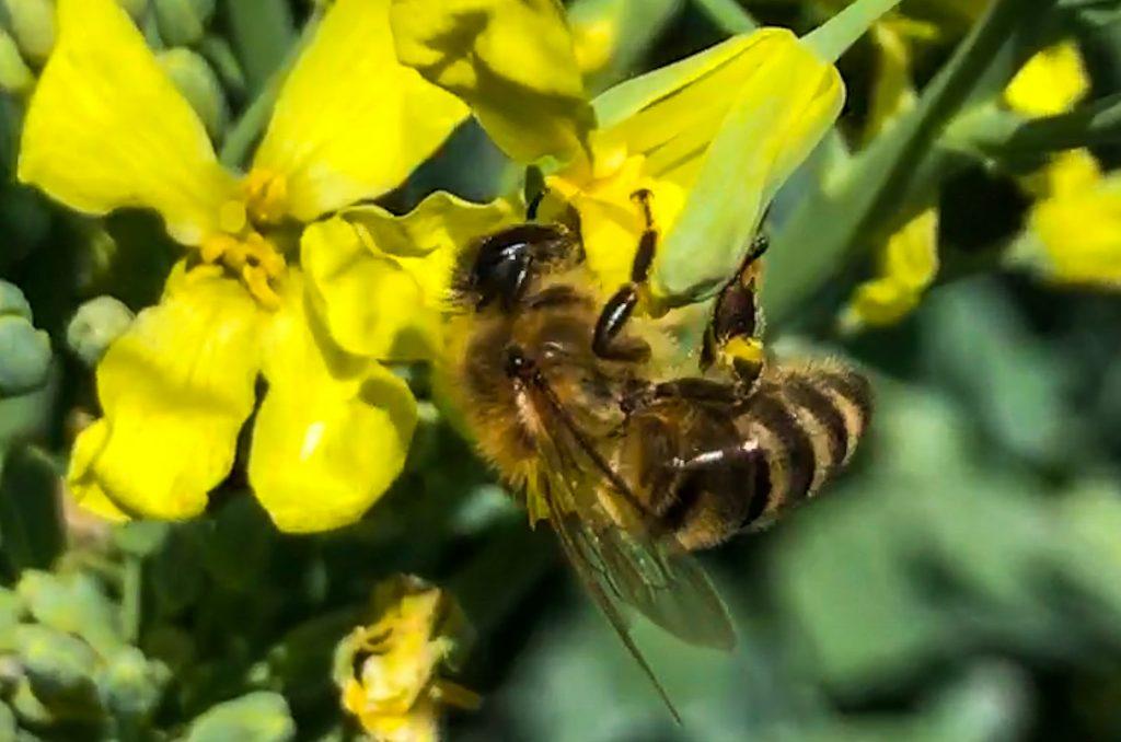 Honeybee on Broccoli flower