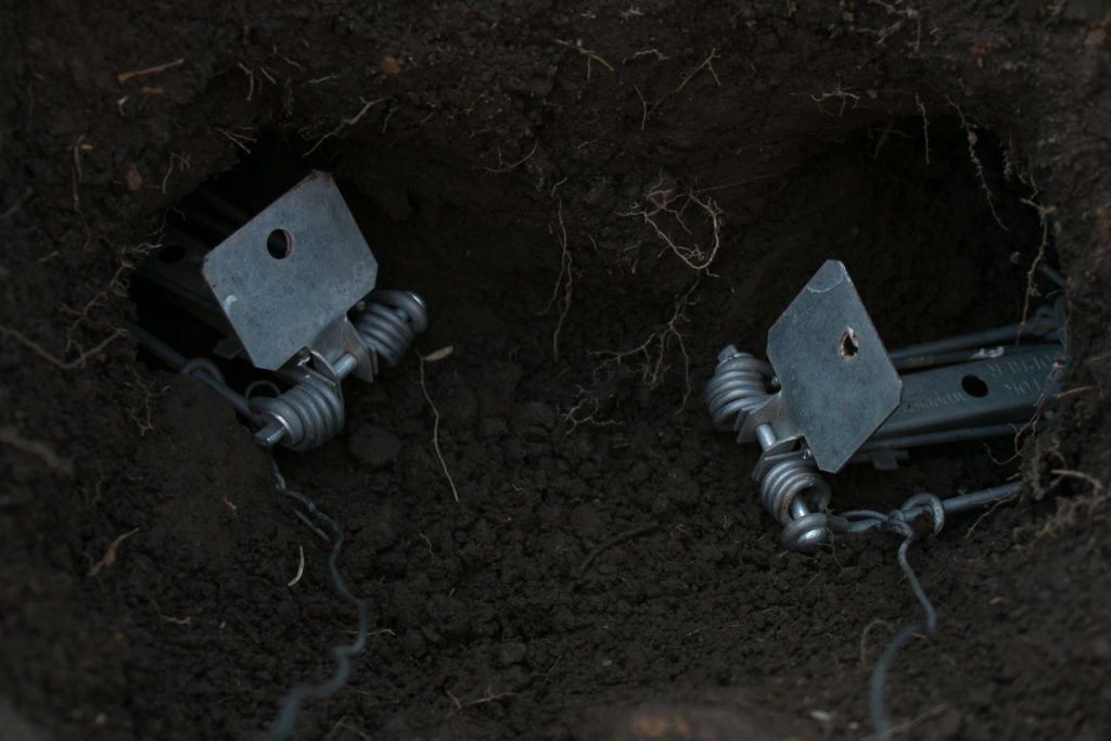 Two victor gopher traps in gopher tunnel
