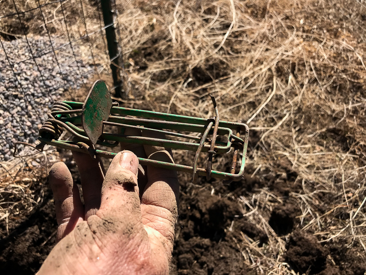 Picture of an old green Victor model 0615 Gopher Trap