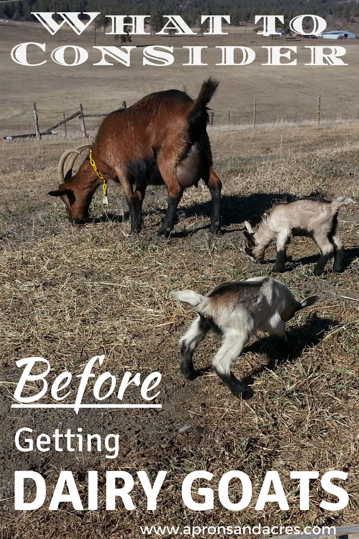 What to consider before getting dairy goats