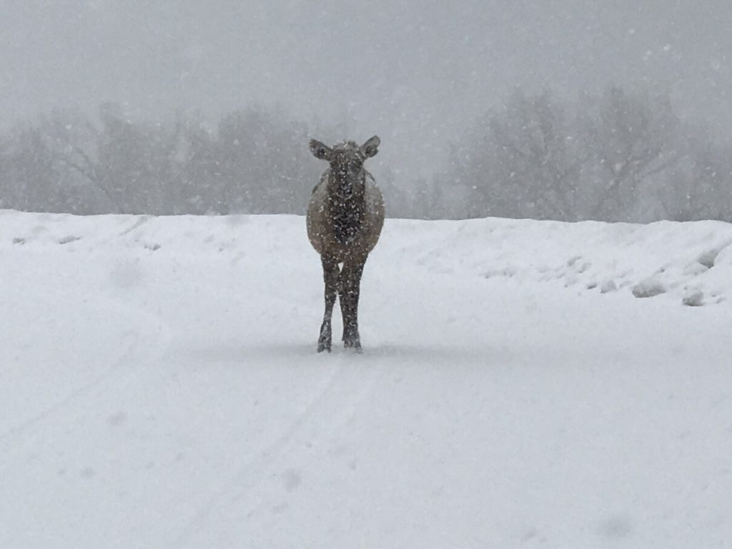 a lone elk standing in the road during a snowstorm