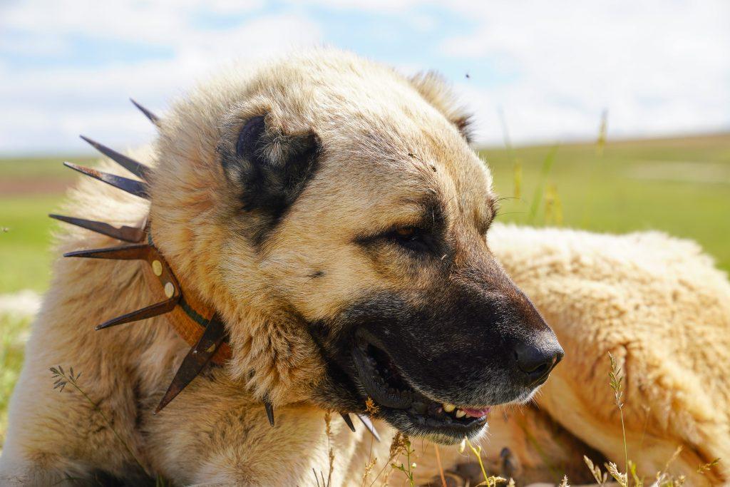 Anatolian Shepherd with traditional Turkish spike collar.