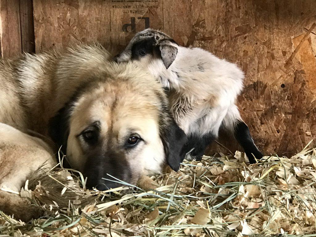 Anatolian Shepherd with goat kid