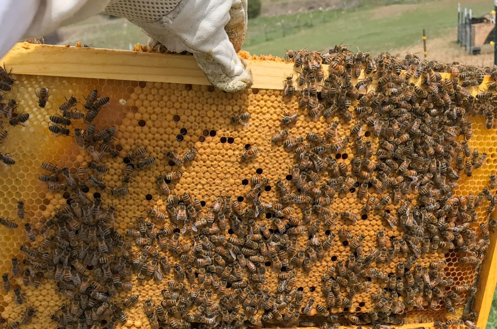 A frame of capped brood