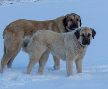 Two Anatolian Shepherd Livestock Guardian Dogs in the snow
