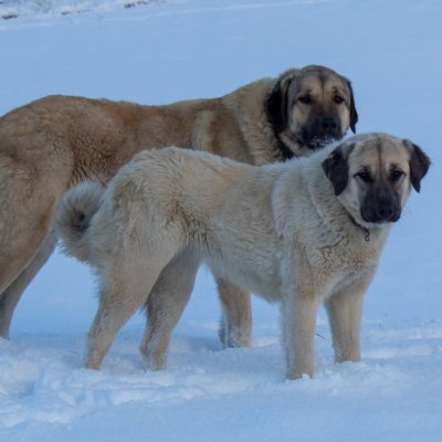 Two Anatolian Shepherd Livestock Guardian Dogs in the snow