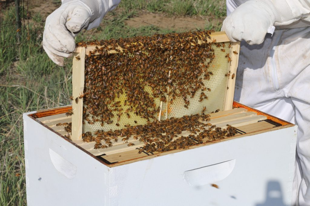 Beekeeping checking beehive frames