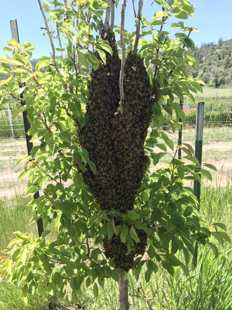 a honeybee swarm in a fruit tree.  A swarm is a good way to get bees if you are beginning beekeeping