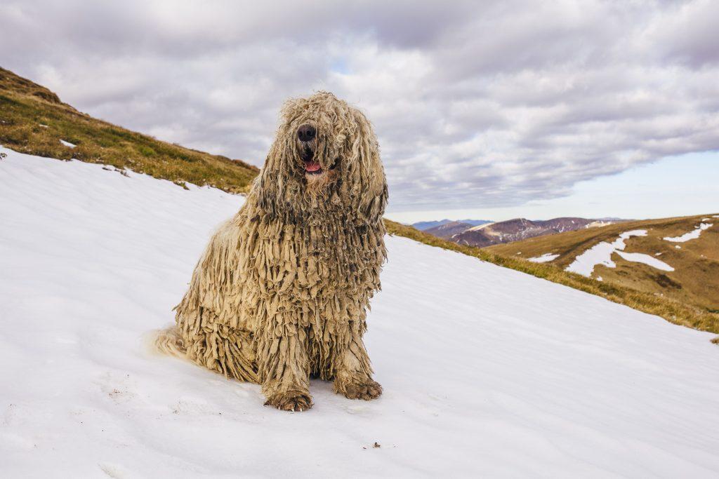 Picture of a Komondor livestock guardian dog