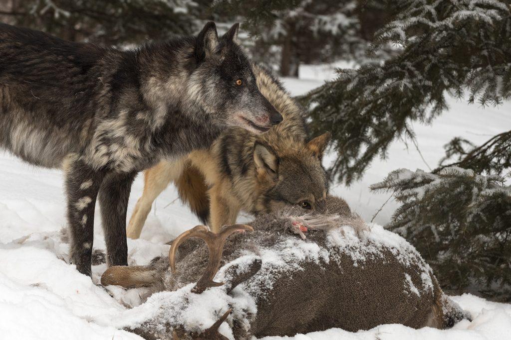 Wolves feeding on a deer