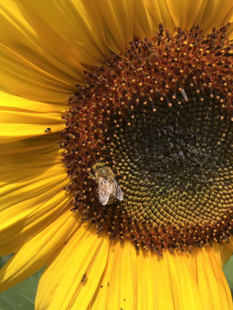 Honeybee gathering pollen on a sunflower