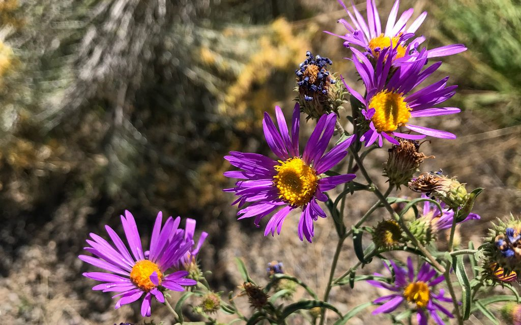 Sticky Spine Aster Flower, a wild, late season aster flower bees love.