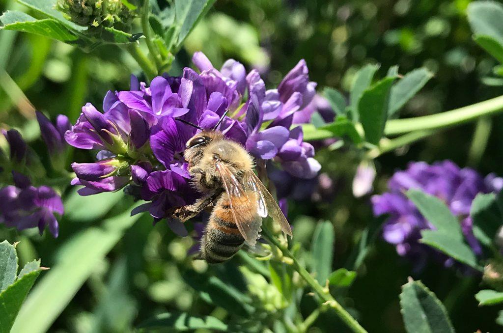 Honeybee on alfalfa flower