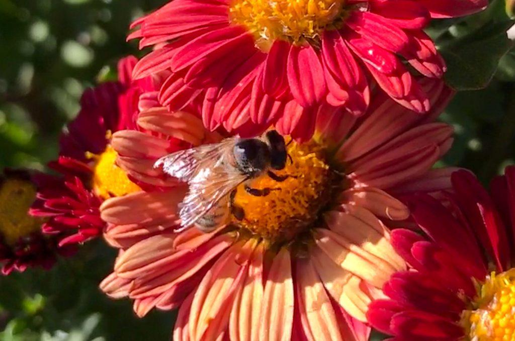 Bee Chrysanthemum