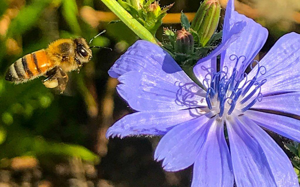 Honeybee and Chicory flower