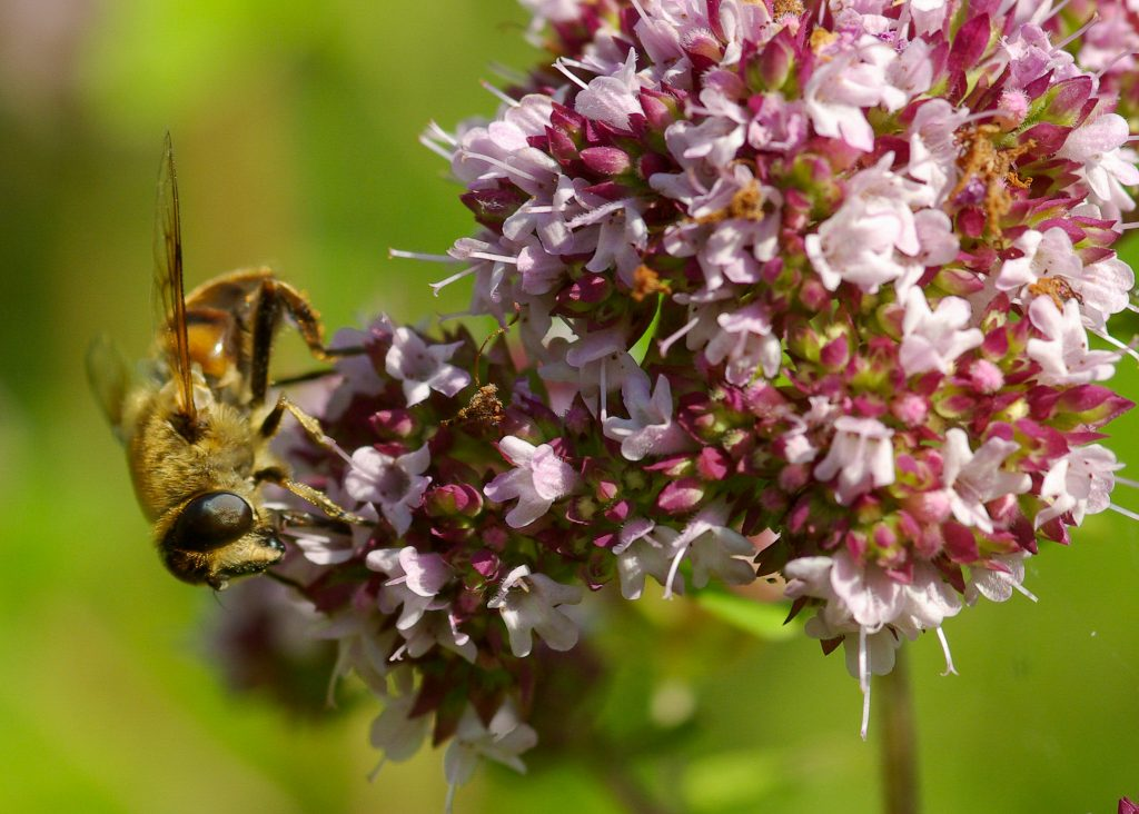 Bee on an oregano flower