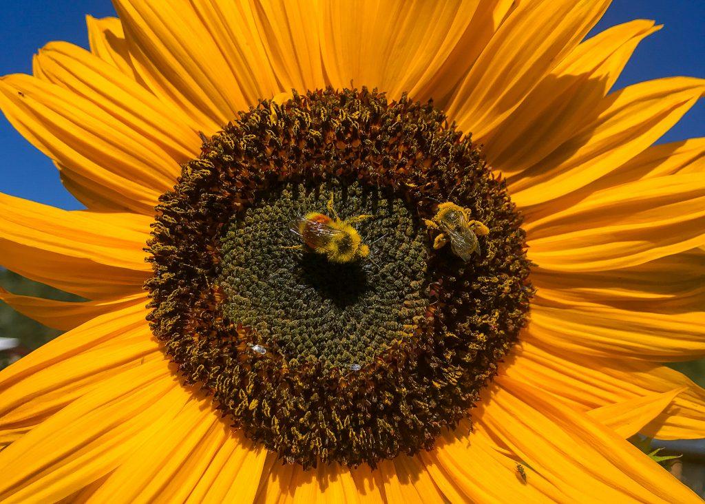Bumblebees gathering sunflower pollen