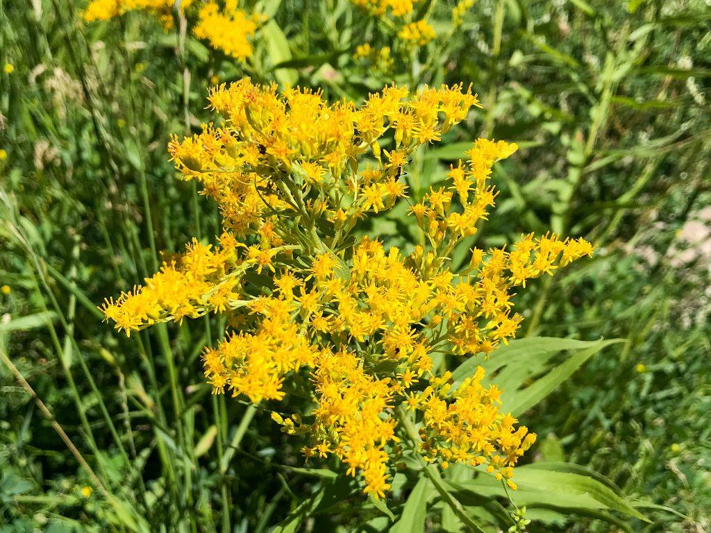 Yellow Canada Goldenrod flowers