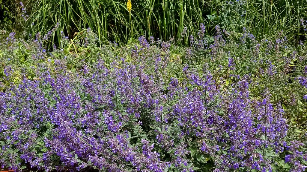 Catmint flower are a good early season bee flower.