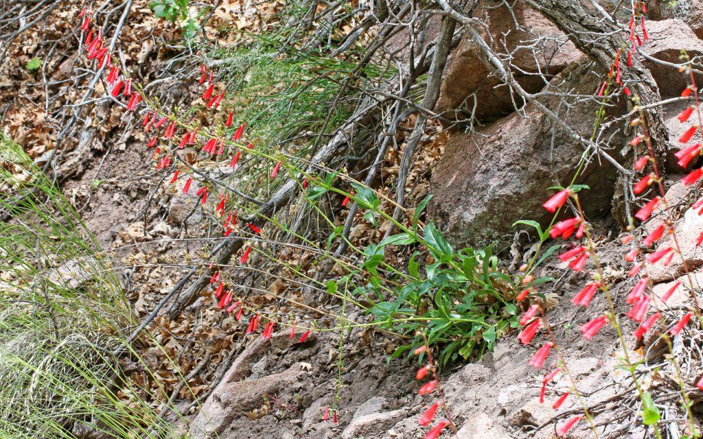 Eaton's Pestemon flower