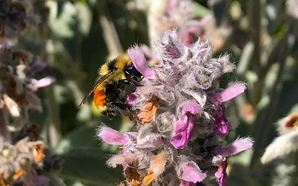 Bumblebee lamb's ear flower