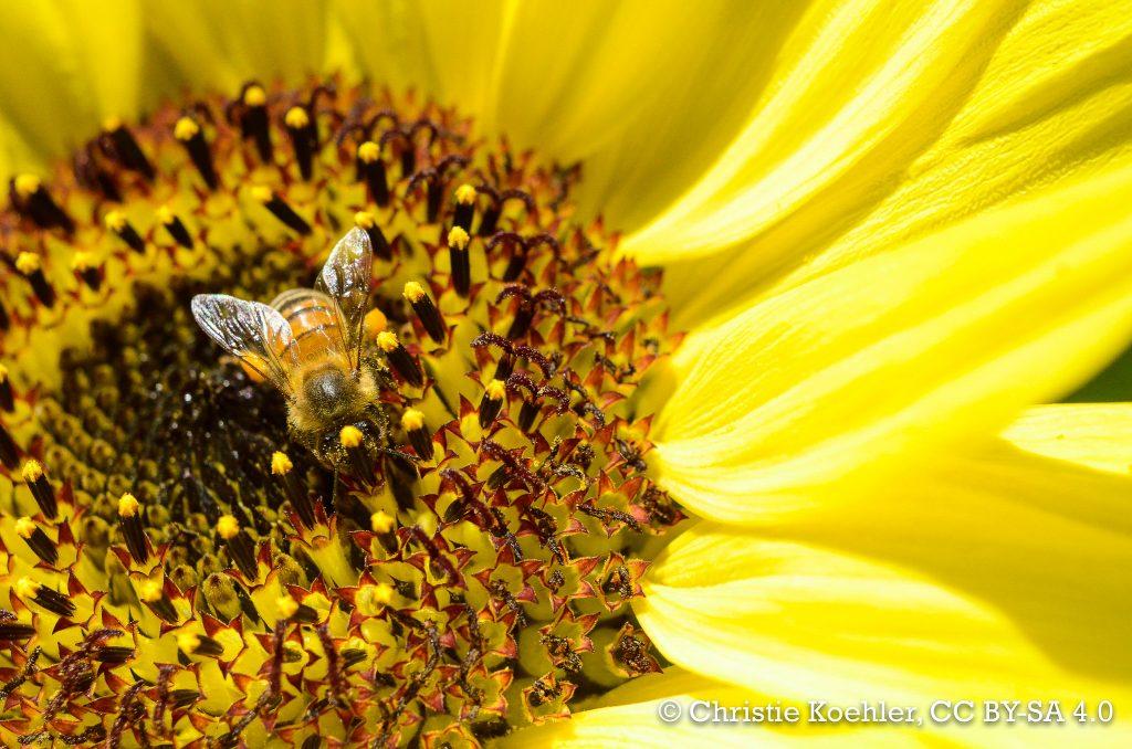 Bee on lemon queen sunflower