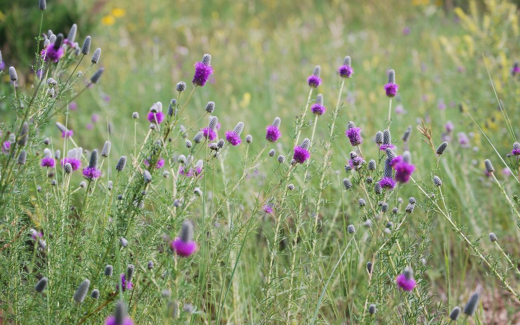 urple Prairie Clover in pasture,, great for attracting bees.