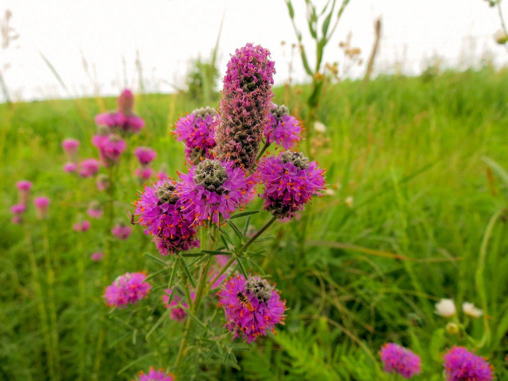 Purple Prairie Clover Flower