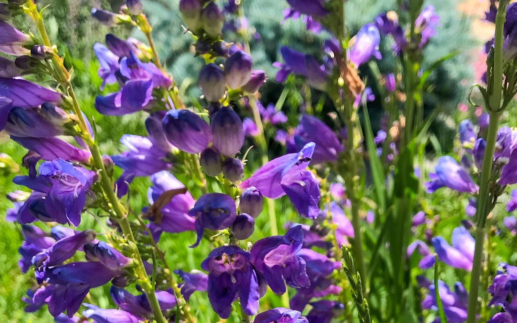 Rocky Mountain Penstemon, a great western flower for bees.