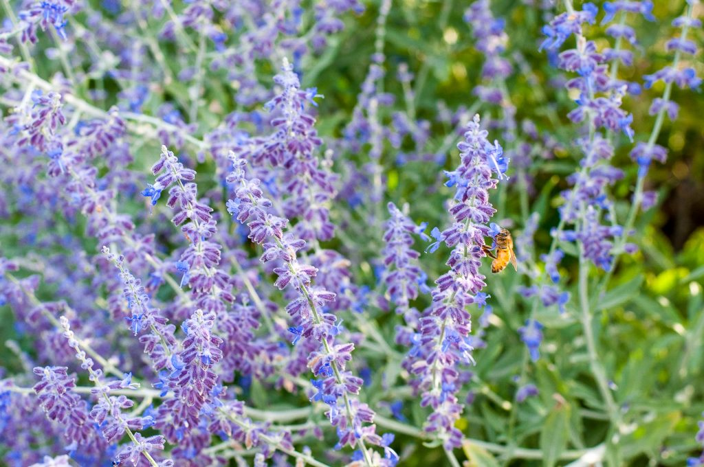 Bee on Russian sage flowers. Russian sage is one of the best flowers for bees you can plant.