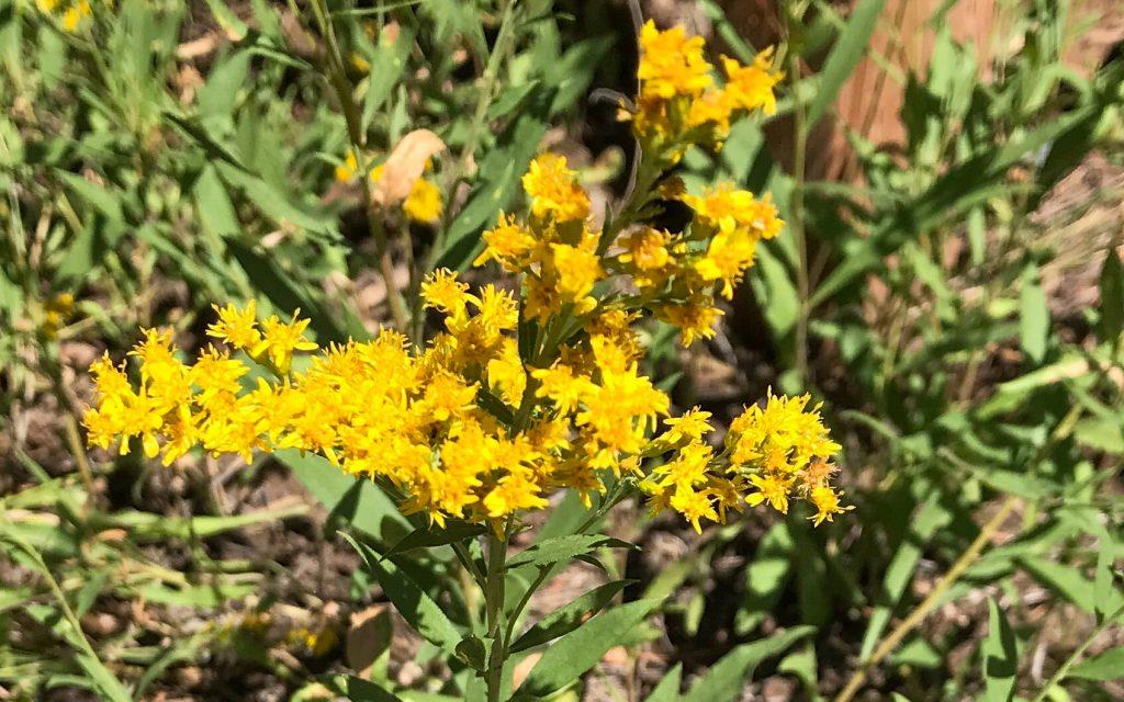 Showy Goldenrod flowers